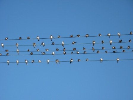 House-Martins-On-Wires