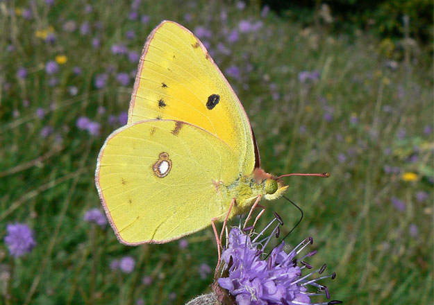 clouded-yellow-underwing1_neil-hulme-web