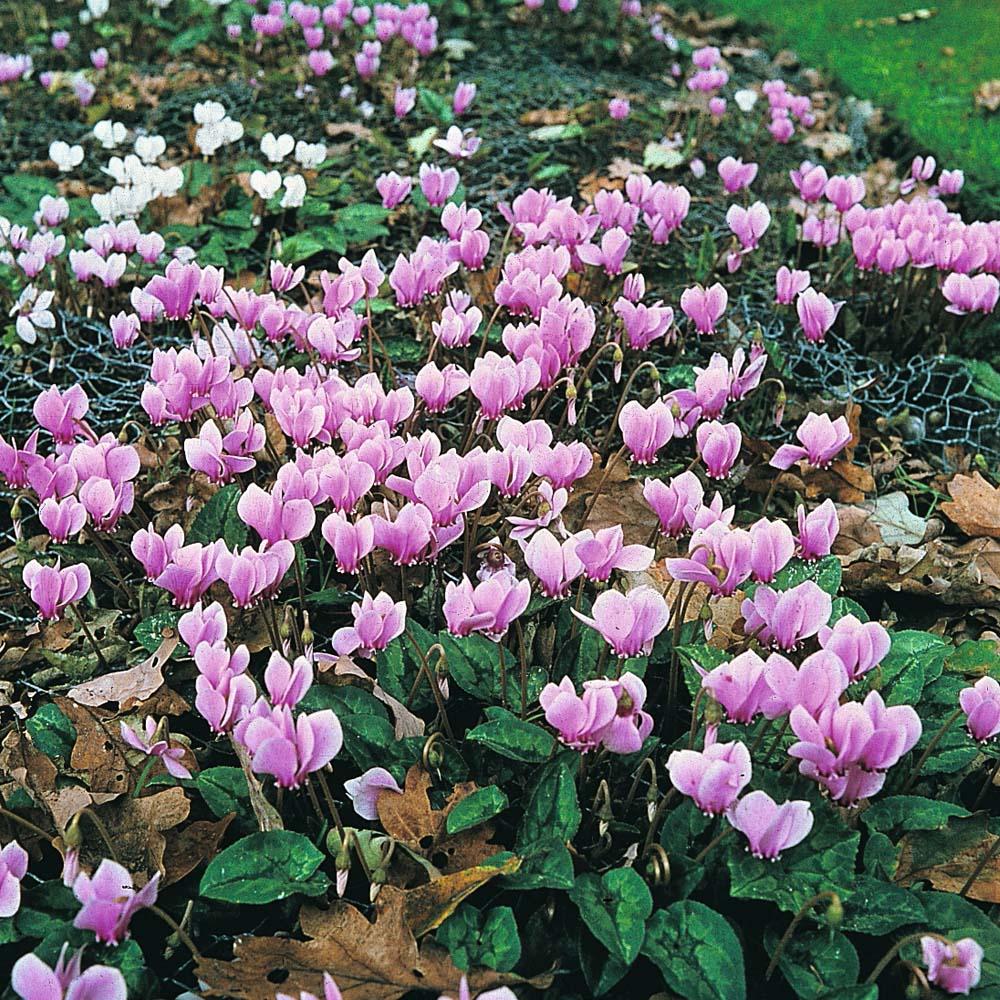 flower cyclamen